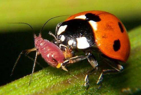 Lady bugs and color and sex