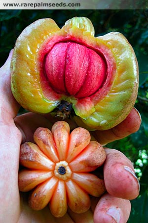 One Weird Fruit Garcinia Cambogia The Holy Grail To Weight